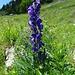Der Eisenhut beginnt auch mit der Blüte