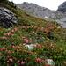 Rhododendron hirsutum – là où il pousse se sont les vallées préférées de [u Anna]