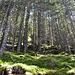 Lichter Nadelwald auf dem Wanderweg nach Chli Gheist.