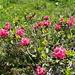 Blühende Alpenrosen, wohin das Auge schaut