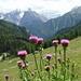 Blühende Alpen-Disteln (Carduus defloratus)