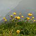 Trollblumen am Gipfel.