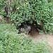 <b>Marmota marmota. Per le neonate sono le prime uscite dalla tana.</b>