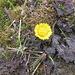 Tussilago farfara L.<br />Asteraceae<br /><br />Tossilagine comune.<br />Tussilage.<br />Huflattich.