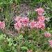 Semprevivo dei monti (<b>Sempervivum montanum</b>).