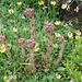 <b>Sempervivum montanum</b>.