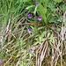 <b>Pinguicola comune</b> (Pinguicula vulgaris). È una pianta carnivora.