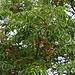 Die typisch kugelförmigen Früchte des Zedrachbaumes (Melia azedarach) am Flughafen von Split. Der Parkbaum wird rund ums Mittelmmer als Zierpflanze gezogen, das natürliche Verbreitungsgebiet der Art sind jedoch der Süden und Südostens Asiens.