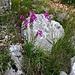 Oberhalb Glavaš traf ich auf diese schöne Blütenpflanzen. Wahrscheinlich handelt es sich um den Illyrischen Siegwurz (Gladiolus illyricus).