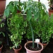 Botanički vrt u Zagrebu: Im Gewächshaus entdeckte ich die kuriose Pflanze Titanwurz (Amorphophallus titanum). Sie besteht aus einem riesigen Blattdas etwa 20 Monate wächst. Während dieser Zeit wachst die Konolle in der Erde auf 8 bis 24kg! Anschliessend stirbt das Blatt ab und wenn die Knolle schwerer als 20km ist bildet sich eine bis 2m hohe Blume die nach Aas stinkt. Der Gestank zieht Aaskäfer an die für eine Bestäubung sorgen.