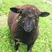 Ein schwarzes Schaf auf der Roslenalp