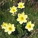"""Gelbe Alpen-Kuhschelle (Pulsatilla alpina subsp. apiifolia), auch """"Schwefel-Anemone"""" genannt"""