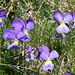 Langspornige Stiefmütterchen (Viola calcarate)