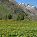 Über dem Val Tasna breitet sich ein gigantischer gelber Teppich aus blühenden Trollblumen aus!