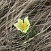 <b>Anemone solforosa.</b>