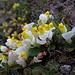 oberhalb Brischeru: selten schöne Buchsblättrige Kreuzblume, mit Tautropfen