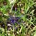 eine filigrane Blumenschönheit