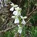 zart, überaus schön - doch mir nicht bekannt, diese Orchidee