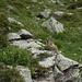 Une des nombreuses marmottes qui habitent autours de la Chamanna Cler (photo de [u anna])