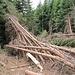 ..... und kurz vor dem Parkplatz im Val Biole abgeholzt. So ähnlich sah es [http://www.hikr.org/gallery/photo1314625.html?post_id=74071#1 hier] allerdings vor einem halben Jahr auch schon aus - ob die Forstverwaltung den Wald in dieser Form beläßt?