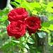 Rosen in der Gartenbeiz
