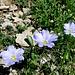 selten gesehen, diese zartblauen Blumen