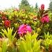 I rododendri cominciano a fiorire soprattutto sul versante Ovest.