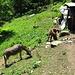 Im Aufstieg zur Alp Egg: drei Esel, die sich bei Tal gemütlich in der Sonne grillen lassen. Und ein Esel, der wie vom Aff gebissen hochrennt.