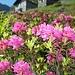 bella fioritura all'alpeggio