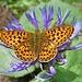 Ein Kaisermantel auf einer Flockenblume.