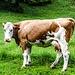 Eine Kuh bei der Galtalm