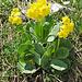 Flüeblüemli (Primula auricula)