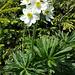 Narzissenblütige Anemone (Anemone narcissiflora)