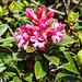 Rostblättrige Alpenrose (Rhododendron ferrigineum)