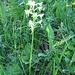 Platanthera bifolia L. Rich. Orchidaceae  Platantera comune. Platanthère à deux feulles. Weisses Breitkoelbchen.