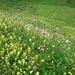 die Alpen sind mit Blumenteppichen überzogen