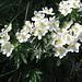Anemone narcissiflora L. Ranunculaceae  Anemone narcissino. Anémone à fleurs de narcisse. Narzissen-Windroeschen.