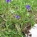 Phyteuma scheuchzeri All.<br />Campanulaceae<br /><br />Raponzolo di Scheuchzer.<br />Raiponce de Scheuchzer.<br />Scheuchzers Rapunzel.