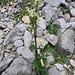 Aconitum lamarckii  ??? Aconitum altissimum ???