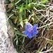 Gentiana clusii E. P. Perrier & Songeon<br />Gentianaceae<br /><br />Genziana di Clusius.<br />Gentiane de Clusius.<br />Kalk-Glochen-Enzian.