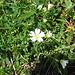 Cerastium alpinum L.<br />Caryophillaceae<br /><br />Peverina delle Alpi.<br />Céraiste des Alpes.<br />Gewoenliches Alpen-Hornkraut.