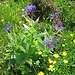 Centaurea montana L.<br />Asteraceae<br /><br />Fiordaliso montano.<br />Centaurée des montagnes.<br />Berg-Flockenblume.