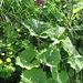 Adenostyles alliariae (Gouan) A. Kern.<br />Asteraceae<br /><br />Cavolaccio alpino.<br />Adénostyle à feuilles d'alliaire.<br />Grauer Alpendost.<br />