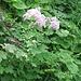 Thalictrum aquilegifolium L. Ranunculaceae  Pigamo colombino, Tallitro a foglie d'aquilegia. Pigamon à feuilles d'ancolie. Akeleiblättrige Wiesenraute.