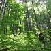 Gli alberi hanno fusti diritti ed altissimi.