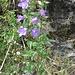 Campanula trachelium L.<br />Campanulaceae<br /><br />Campanula selvatica.<br />Campanule gantelée.<br />Nesselblättrige Glockenblume.