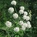 Angelica sylvestris L.<br />Apiaceae<br /><br />Angelica selvatica.<br />Angélique sauvage.<br />Wilde Brustwurz.