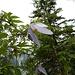 nochmal eine interessante Blume - sie blüht auf ca. 2m Höhe auf einem Nadelbaum. Wer weiß, was das ist?