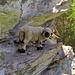 SN-Schafe suchen Schutz vor der warmen Sonne in einer Felsspalte