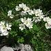 Anemonen in grosser Anzahl und verschiedenen Formen ...